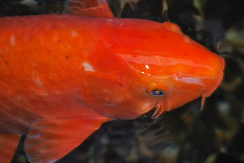 Orange koi carp taken at shukugawa railway stn lol daz for Orange koi carp