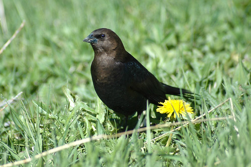 Brown-headed Cowbird(Molothrus ater) | by Robinsegg