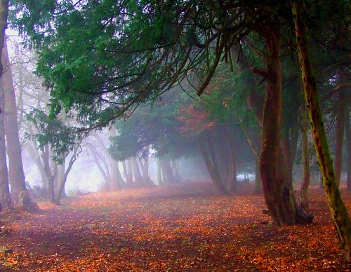 Yew grove in mist | by tina negus