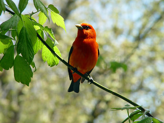 Scarlet Tanager | by Laura Erickson