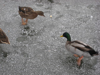 Ducks on ice | by gelle.dk