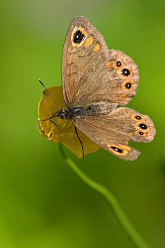 Northern Wall Brown - Lasiommata petropolitana | by L.Mikonranta