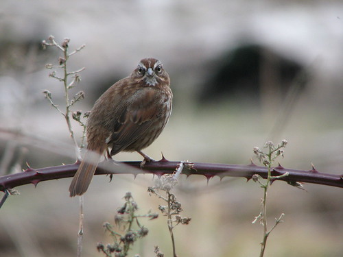Song Sparrow | by birdmandea