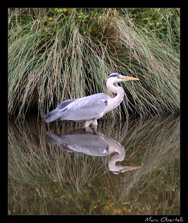 Heron reflection | by obers82