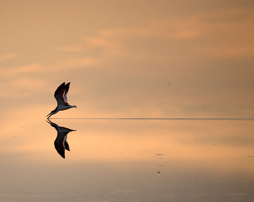 The Sky Skimmer ~ Endangered Black Skimmer | by William  Dalton