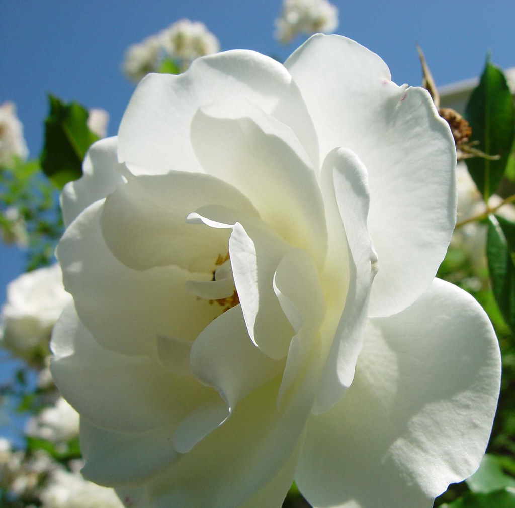 White Rose Rajendra Prasad Flickr