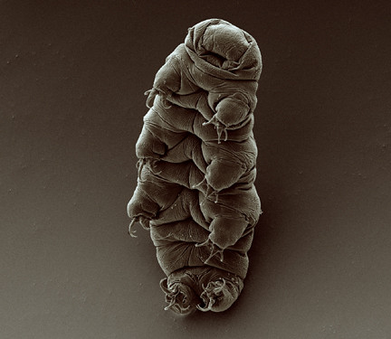 water bear | by Goldstein lab - tardigrades