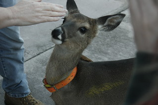 My Uncle's Pet Deer | by Poole-shooter Austin