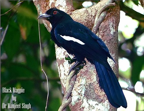 Black Magpie | by Dr Manjeet Singh
