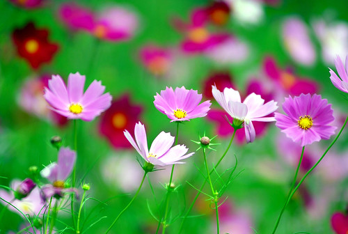 Cosmos | by floridapfe
