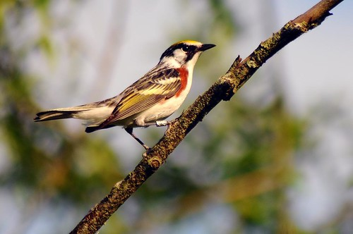 Chestnut-sided Warbler | by Mon@rch