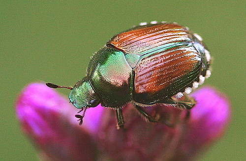 Japanese Beetle | by vzonabaxter
