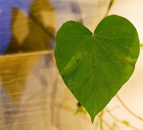 Heart Leaf Vine Morning Glory Here S A Fun Shot Just