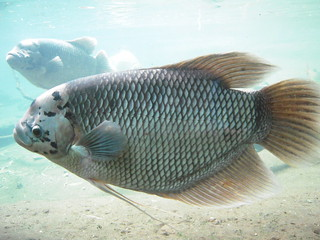 Giant Gourami: bronx zoo | by orchidgalore