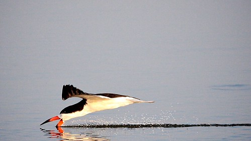 Black Skimmer | by Larry Hennessy