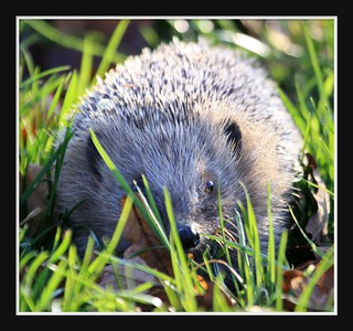 Happy hedgehog | by Clare Forster