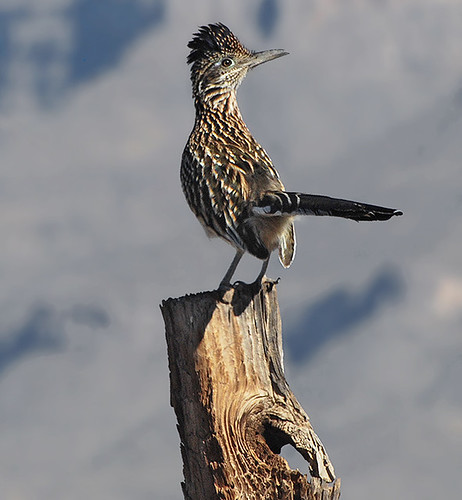 Greater Roadrunner - fence post | by NatureNM