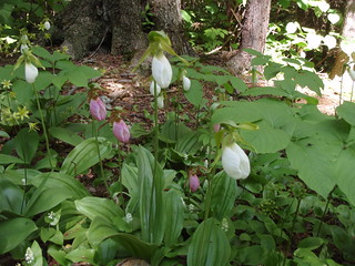 Pink and White Lady Slippers | by Great Glen Trails