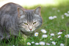 Cute Cat In Daises | by PicturesOfCats
