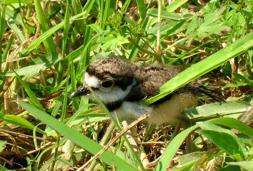 Killdeer Chick | by bird_dog57