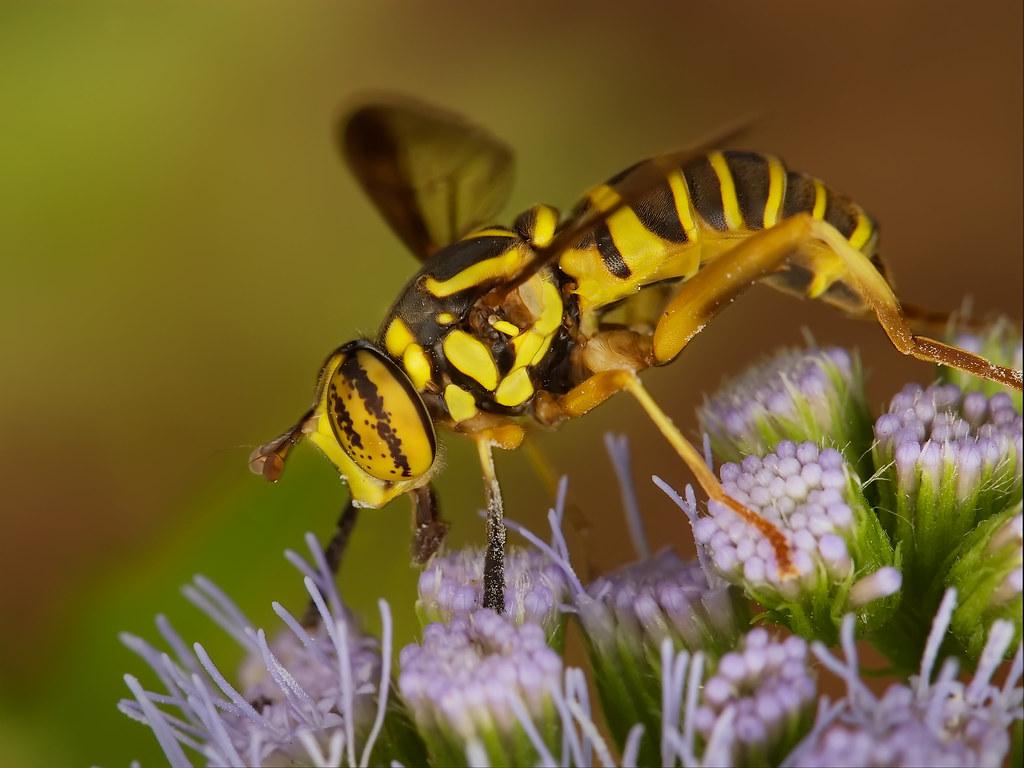 Yellowjacket Hover Fly at Zilker Botanical Gardens, Austin… | Flickr