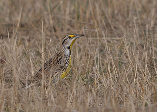 Eastern Meadowlark | by Ed Schneider