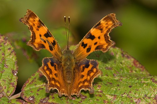 Comma (Polygonia c-album) | by DJLDorset (Takin' a break for a while)