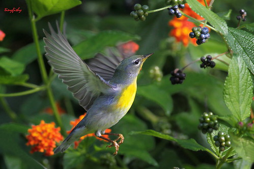 (#315) A Northern Parula | by tinyfishy (Home Again)