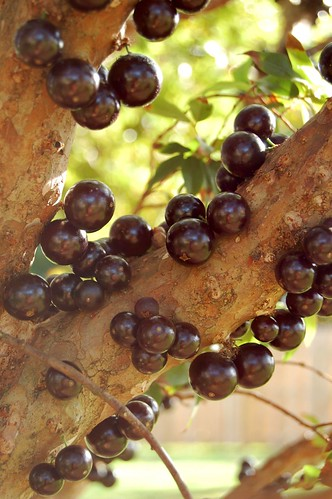 The Jaboticaba Tree grows fruit right on its trunk | by jungle mama