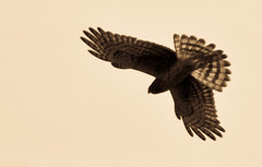 Northern Harrier looking for Prey | by Gitart