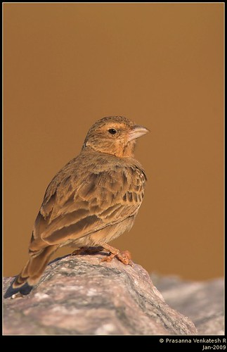 Ashy Crowned Sparrowlark (Female) | by Prasanna Venkatesh R