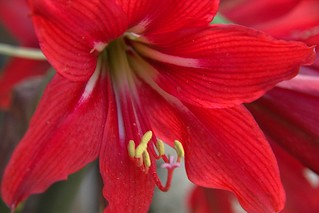 red lily in my garden | by eruzunmehmet