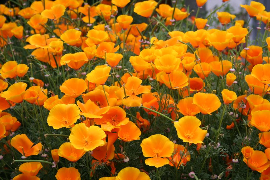 Fiori Arancioni.Fiori Arancioni Aldo Matrisciano Flickr