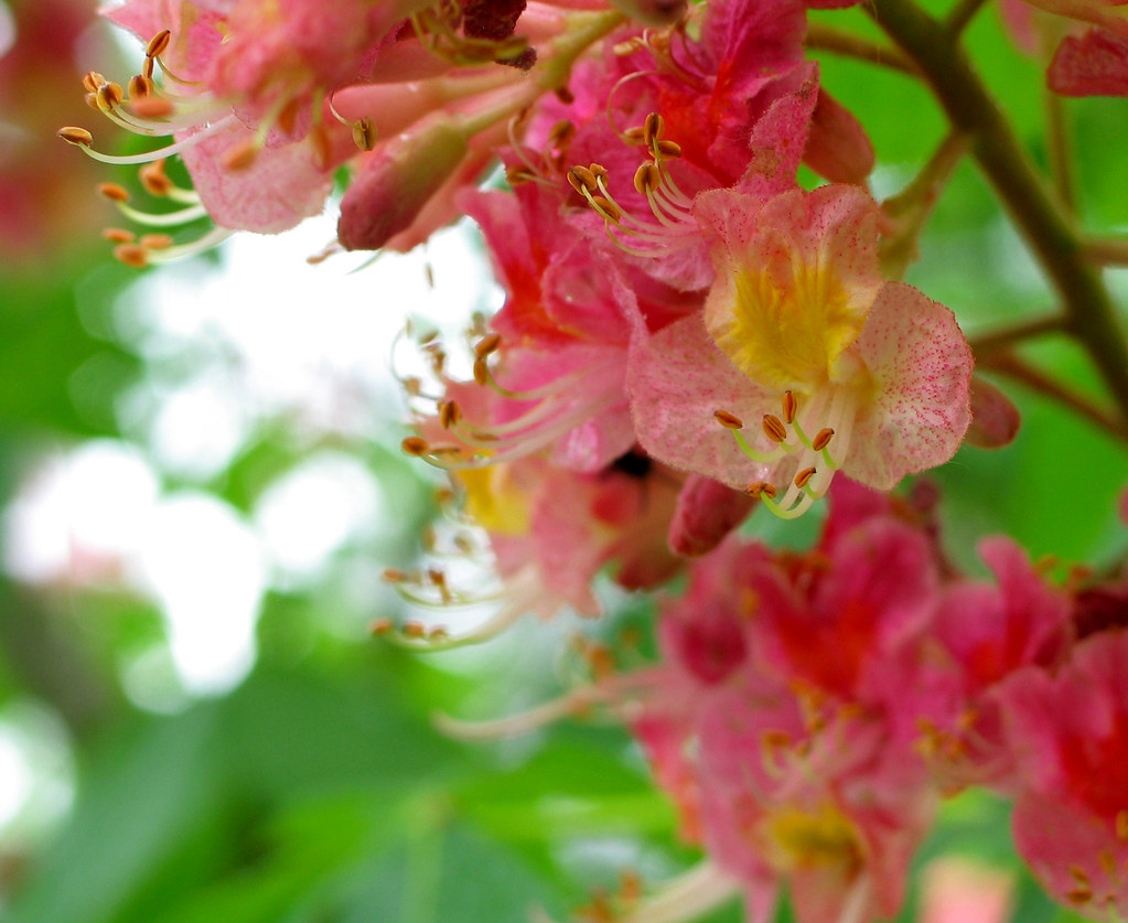 Pink Horse Chestnut Apparently Horticulturalists Crossed A Flickr