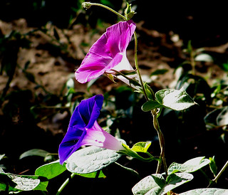 Morning Glory | by marinela 2008