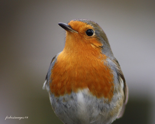 Robin | by forbesimages