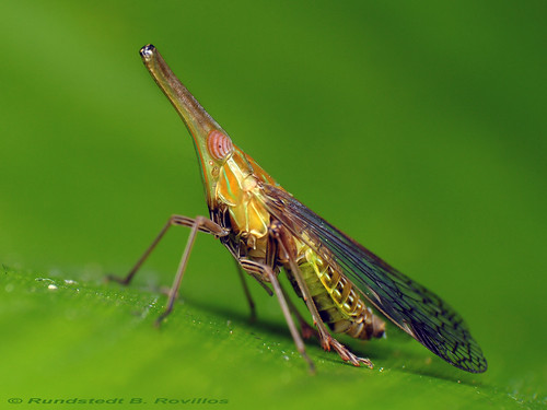 leaf hopper | by Rundstedt B. Rovillos