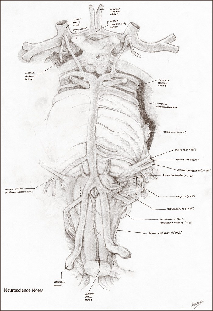 Anatomy Notes: Brain Circulation | My drawing of the cranial… | Flickr