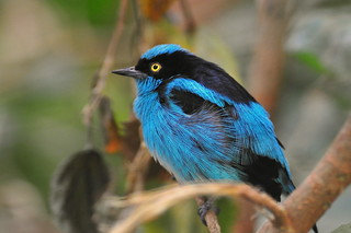 Black-faced Dacnis | by bunnhillphoto