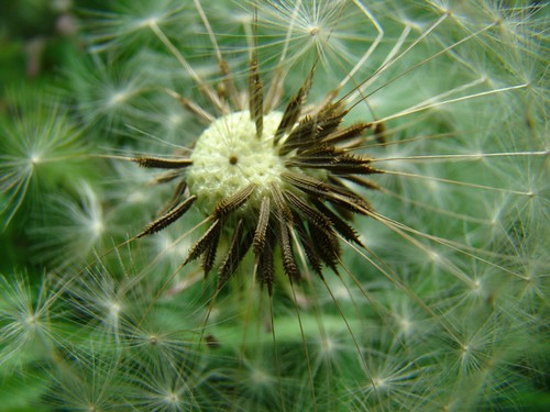 dandelion clock | by helen.2006