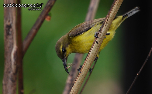Outdoorgraphy™ : Yellow Olive Sunbird #3 | by Sir Mart Outdoorgraphy™