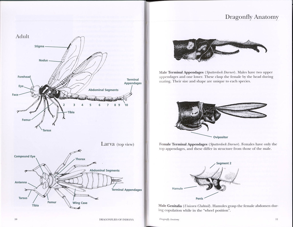 dragonfly anatomy | Wayne Taylor | Flickr