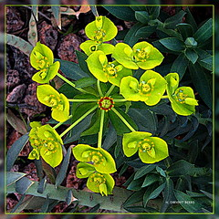 Euphorbia myrsinitis (gimpified) | by h_dwight_beers