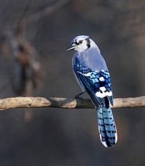 Early Winter Blue Jay III | by The Nature Nook