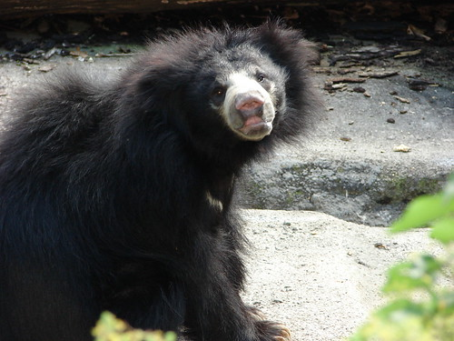 Sloth Bear | Okay. Truth is this guy tried to attack us ...