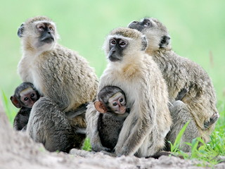 Vervet Monkeys and babies | by ewebber
