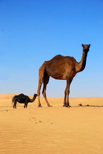 Camels | by faceymcface1