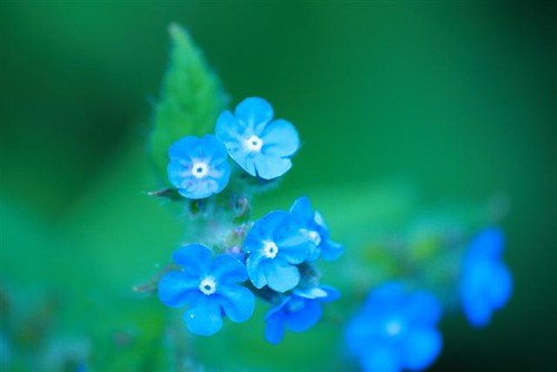 Blues (Small) | by rosewoodoil