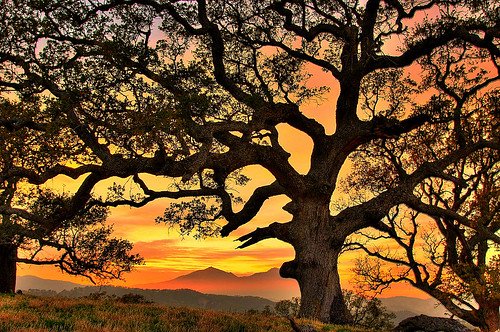 big oak | by Marc Crumpler (Ilikethenight)