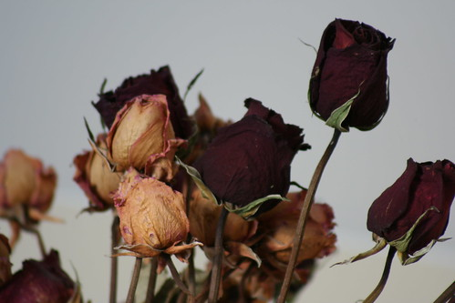 Dried Roses | by Marcus Jeffrey
